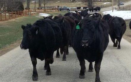 cattle walking on road