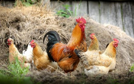 several chicken gathered in grass