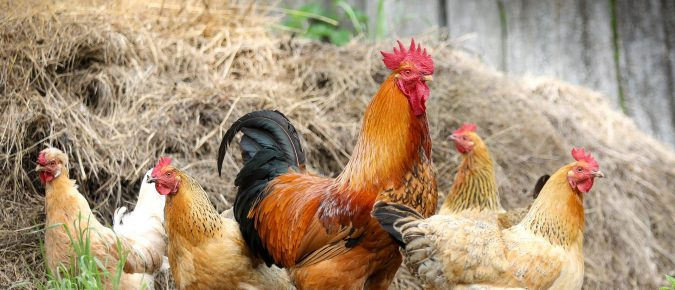 """Is the """"Chicken of Today"""" the chicken of the future?"""