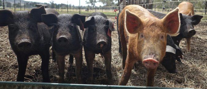 Swine Nutrition Research Update – 2020