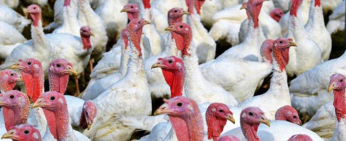 Avian Influenza and Biosecurity – 2020