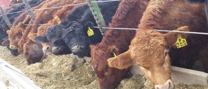 Preconditioning Calves: Establishing Your Reputation