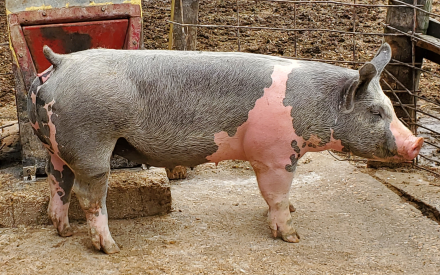 Grey and pink adult pig standing