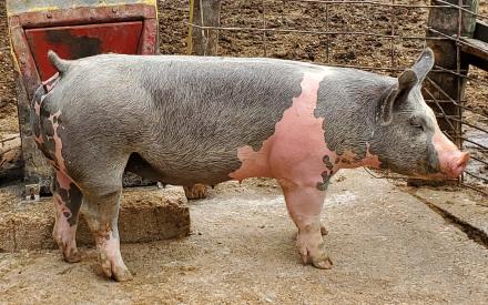 Passion for Pork Campaign