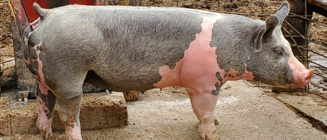 Investigations of tissue dimensions and captive bolt application on swine cadaver heads
