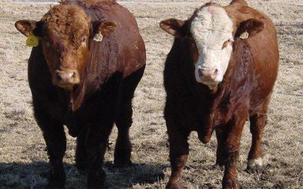 2 brown beef cattle standing