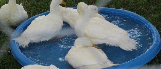 The Origin of Ducks
